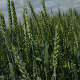 New sources of wheat diversity unlocked by massive-scale genomic study